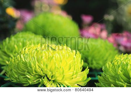 Chrysanthemum flowers and grasshopper