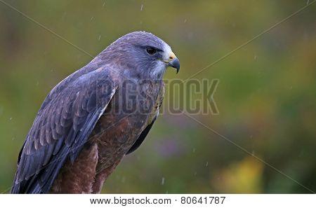 Swainson's Hawk Profile