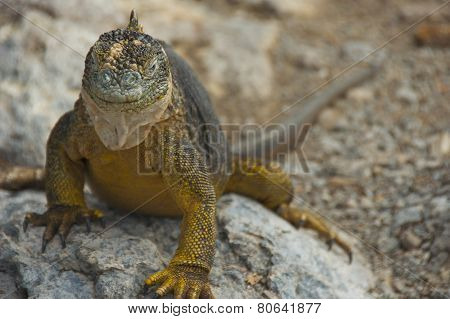 Land Iguana in Galapagos Islands