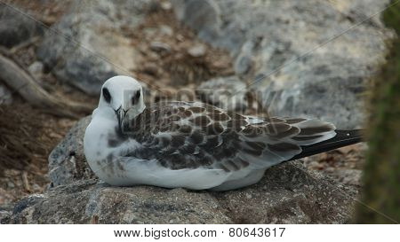 Swallow-tailed Gull Chick in South Plaza Island
