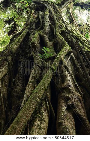 Strangler vines on tree, Costa Rica