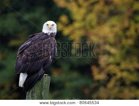 Bald Eagle Looking At Camera