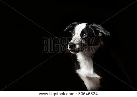 Border Collies Puppy
