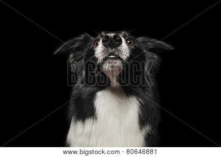 Happy Dog Border Collies Shows His Tongue