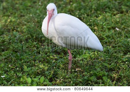 Ibis in the Grass