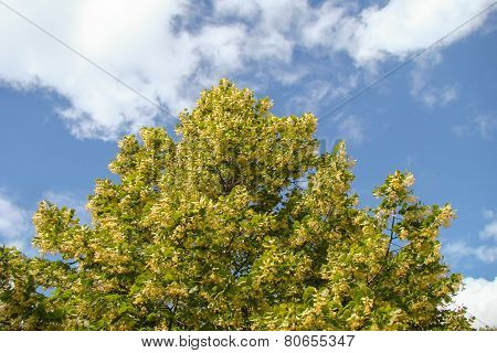linden tree thrives