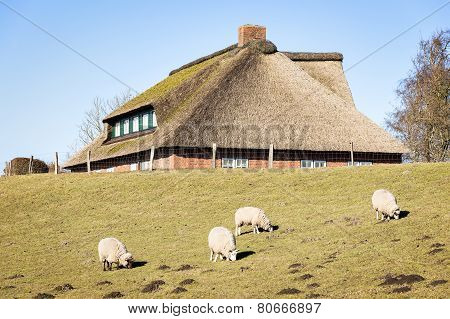 Sheep And House With Thatched Roof