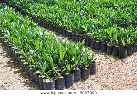 Palm oil sapling