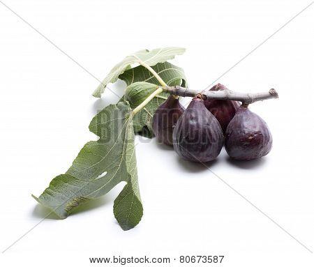 Leaf Fig
