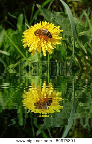 Honeybee On Dandelion With Water Refections