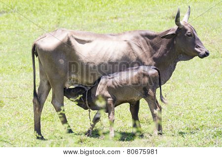 Cow Feeding Calf In Farm