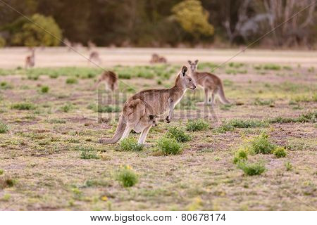 Female Kangaroo With Little Joey