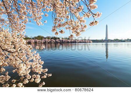A peak of cherry blossom around the Tidal Basin in Washington DC USA.