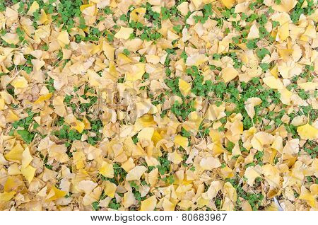 Yellow Ginkgo Leave And Green Weed On Ground