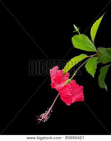 Luminous Red Hibiscus Flower