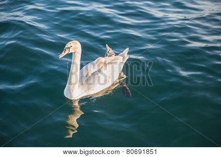 Swan In The Sunshine