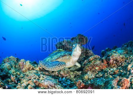 Green Turtle With Remora On A Tropical Coral Reef