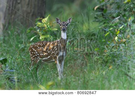 Male spotted deer at Bardia national park, Nepal