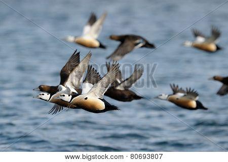 Steller's Eider in flight