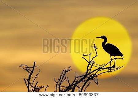 Grey Heron (Ardea cinerea) perched on a tree