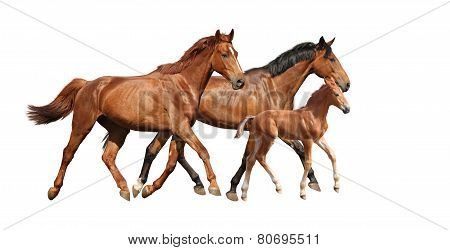 Chestnut Cute Foal Running Free With His Parents