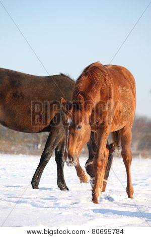 Chestnut Young Colt In The Snow