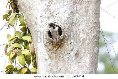 Black-thighed Falconet Microhierax Fringillarius