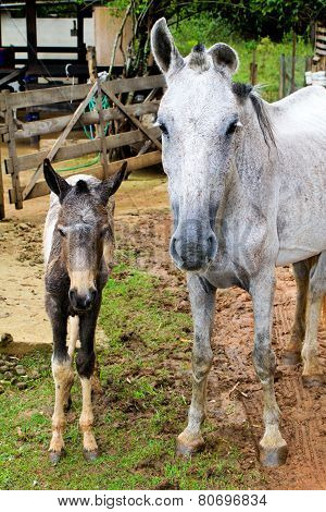 Mare and its foal
