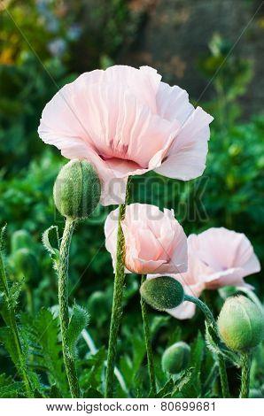 Poppy Flowers For Your Design