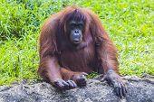 pic of orangutan  - Orangutan adult in the Sumatra island - JPG