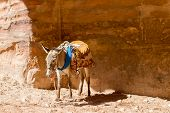 pic of horses ass  - one donkey a the sun in Petra in Jordan - JPG