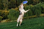 stock photo of collie  - very funny Border collie doing tricks in the Park - JPG