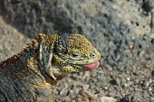 stock photo of darwin  - Charles Darwin described the Galapagos land iguana as ugly animals - JPG
