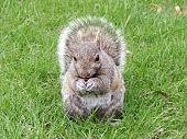 stock photo of eat me  - squirrel eating nut and carefully watching me - JPG