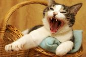 pic of yawning  - A housecat yawns shortly after waking up from a nap - JPG