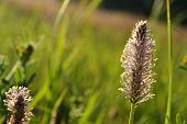 stock photo of ribwort  - A plantain in blooming on a field in summertime - JPG