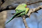 image of mating  - Parakeet couple mating while sitting in a tree - JPG
