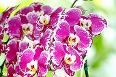 stock photo of dwarf  - Dwarf orchids Dendrobium Flower of Thailand flora  - JPG