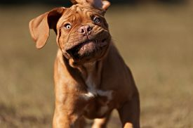 stock photo of bordeaux  - very funny puppys Bordeaux dog in open air - JPG
