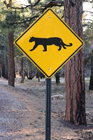 stock photo of cougar  - Grand Canyon National Park  - JPG