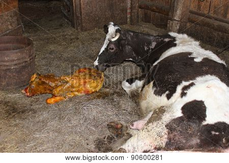 Cow Licking Clean Its Just Newborn Calf