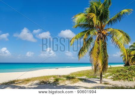 Sandy beach with coconut palm tree, Caribbean