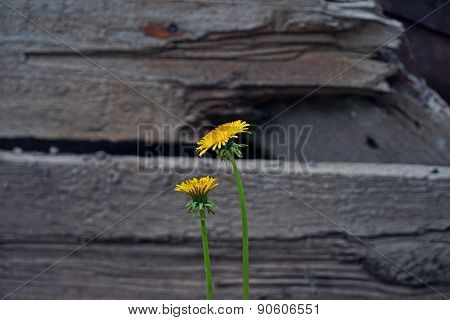 dandelion on the background of wood texture