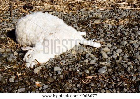 Tote Schafe 01