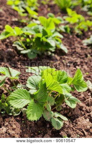 green plant of strawberries in the garden. background outdoors