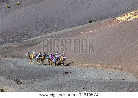 Tourists Ride On Camels Being Guided By Local People Through The Famous Timanfaya National Park