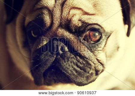 Close up face of Cute pug puppy dog looking sad, sunshine, Sleep packground