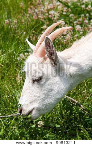 Close up shot of a horned goat grazing on a meadow