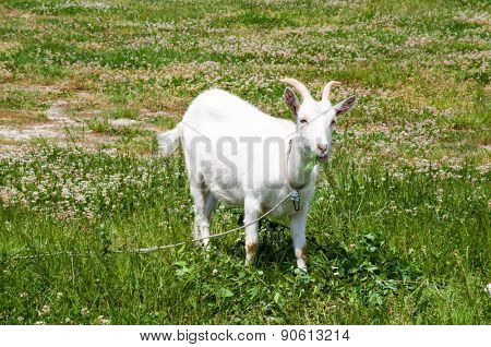 Goat with horns grazing on the meadow