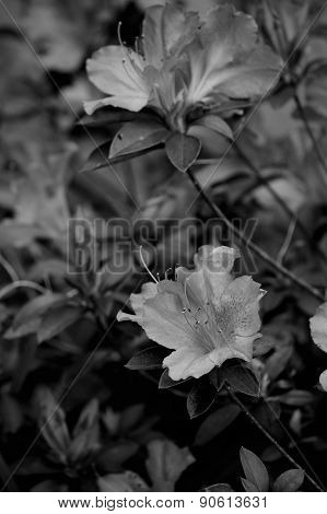 Azalea Bush In Monochrome, Vertical